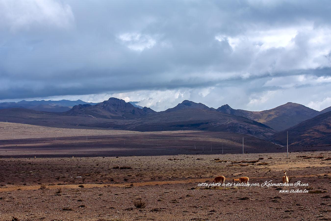 Trois lamas dans la prairie