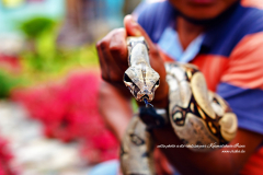 Serpent venimeux