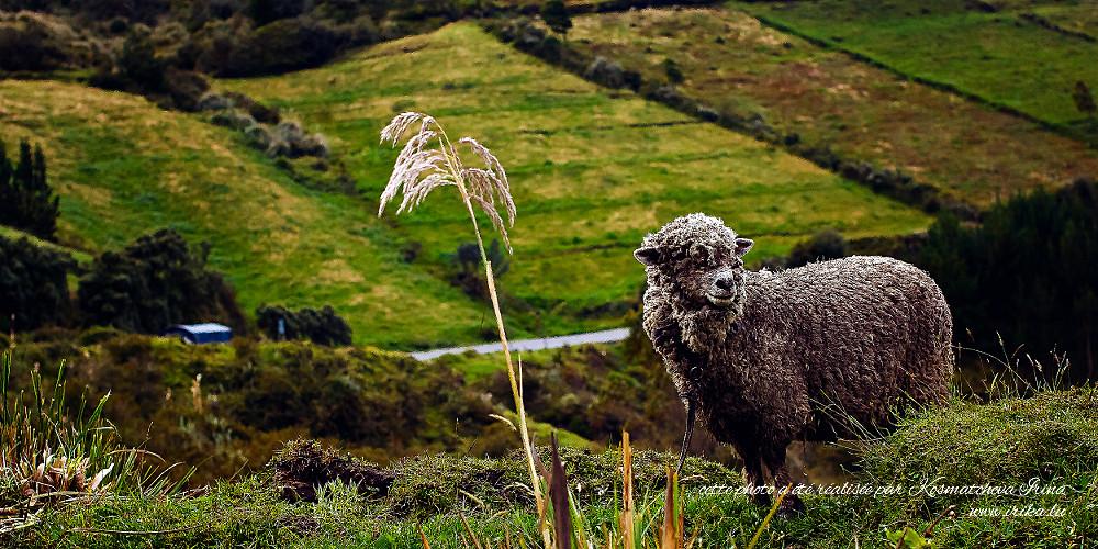 Mouton gis