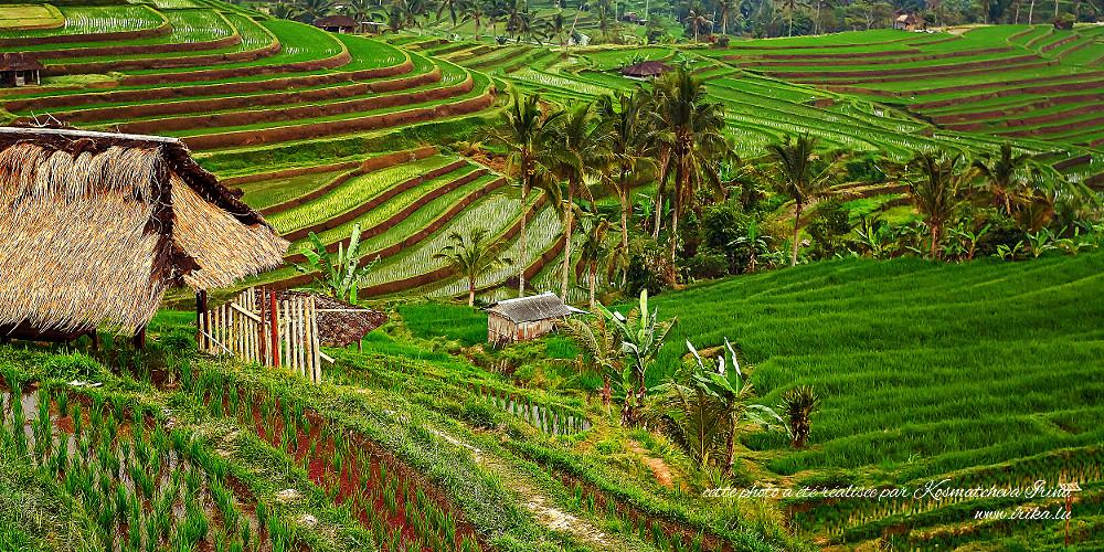 Belle rizière verte
