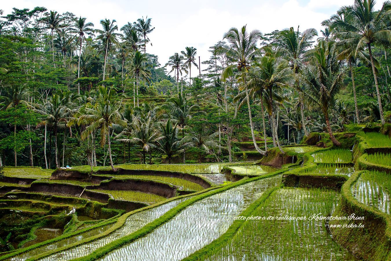 Jeunes poussées du riz