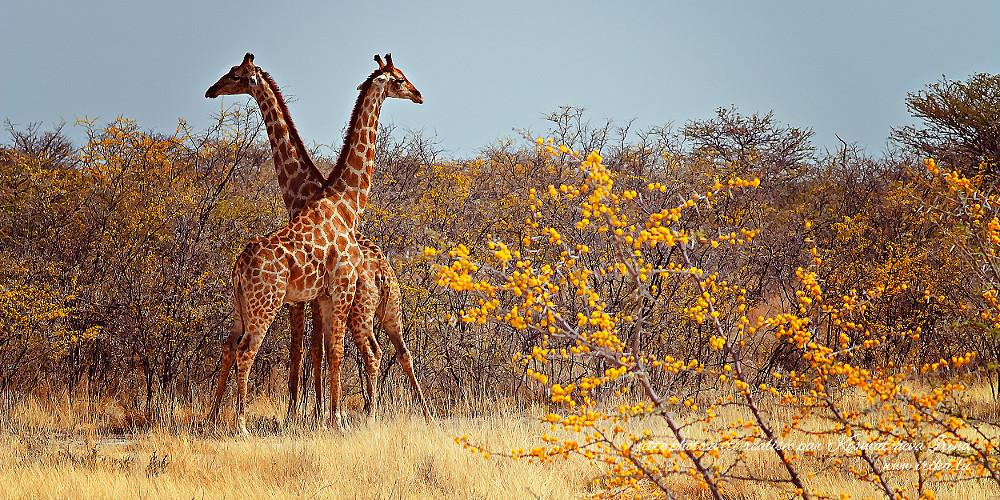 Deux girafes aux fleurs jaunes