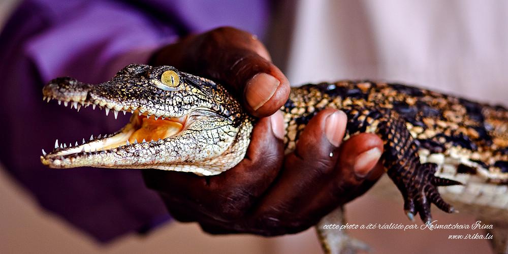 Un tout petit crocodile
