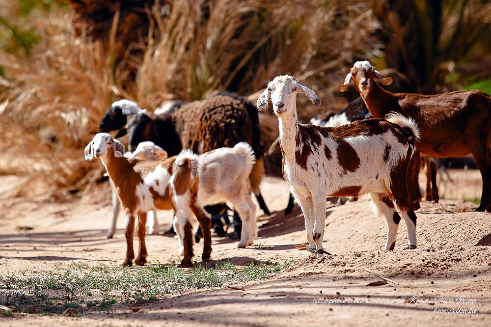 Troupeau-de-chèvres