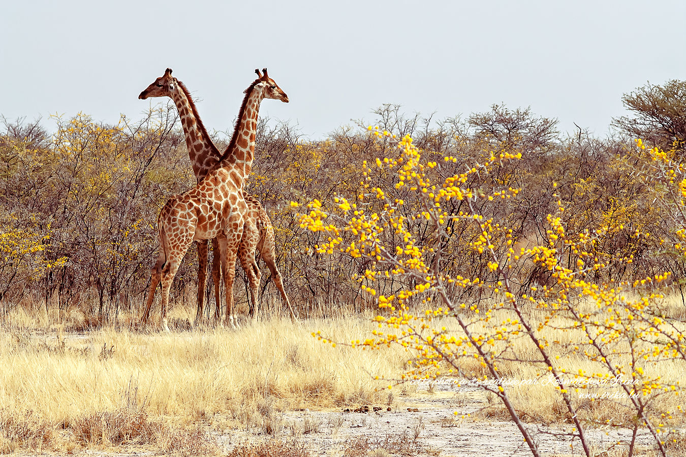 Girafes sauvages