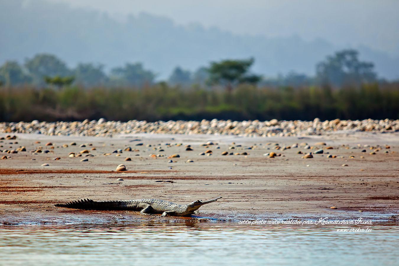 Un vrai crocodile